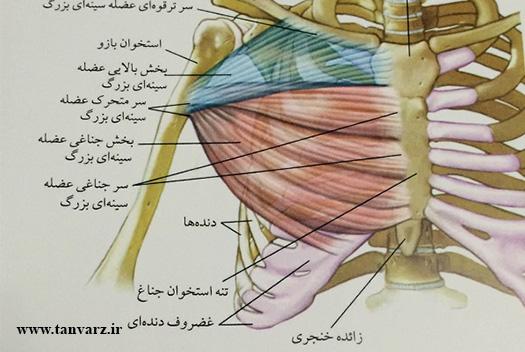 برنامه حجمی سینه